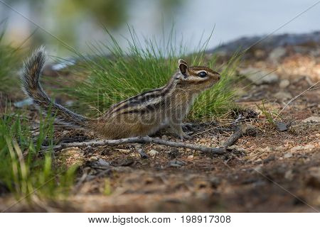 Chipmunk with a fluffy tail on the grass background