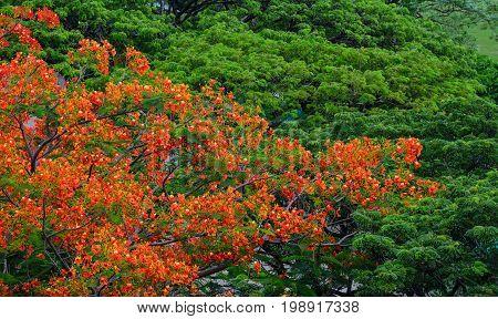 Flamboyant Trees And Flowers (phoenix)
