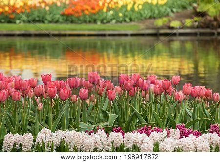 Colorful flowers in the Keukenhof Garden in Lisse Holland Netherlands.
