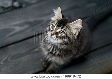 Cute tabby kitten looking up. This adorable domestic pet has a beautiful soft tabby pattern fur coat. The small young cat is sitting on a dark wooden background.
