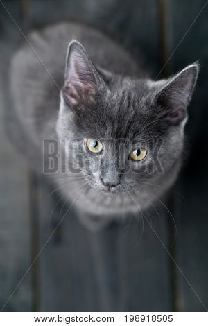Kitten viewed from above. Cute grey kitty looking up. This adorable domestic pet has a beautiful soft grey fur coat. The small young cat is sitting on a dark wooden background.