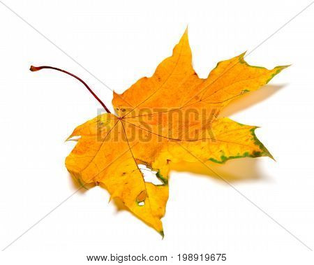 Autumn Yellow Maple Leaf With Holes