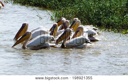 Hunting white pelicans at the lake in Djoudj National Bird Sanctuary at Senegal