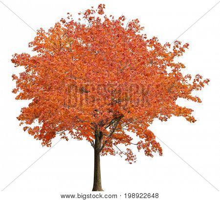 medium straight autumn maple tree isolated ob white background