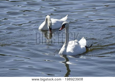 White Swans On A River