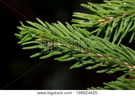Sprig of pine after summer rain with drops of water. Beautiful in nature.