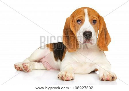Beagle puppy lying on a  white background
