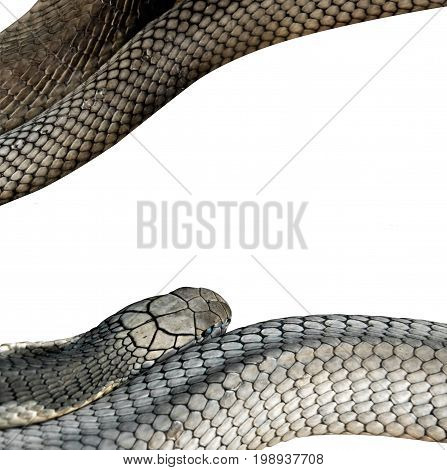 Closeup King Cobra Isolated on White Background Clipping Path