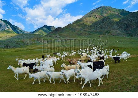 Herd of black white and brown goats grazing on green hills of Altai mountains. Chuy-Oozy Altay Republic Russia.
