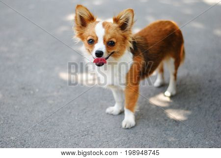 Small funny dog with big red tongue