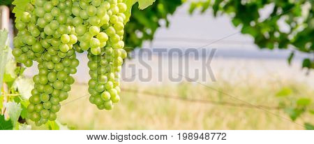 Grapes In Front Of Lake