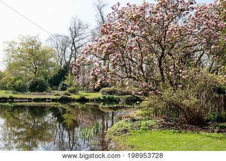 The arboretum with blossoming magnolia's, Kalmthout Belgium