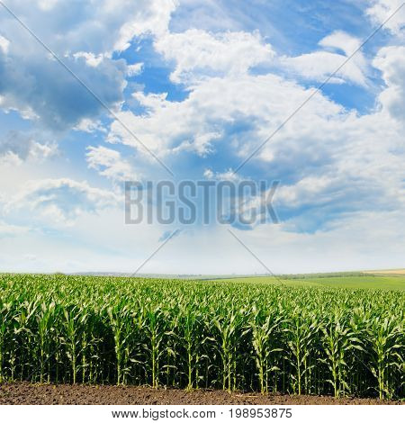 A green corn field and blue sky