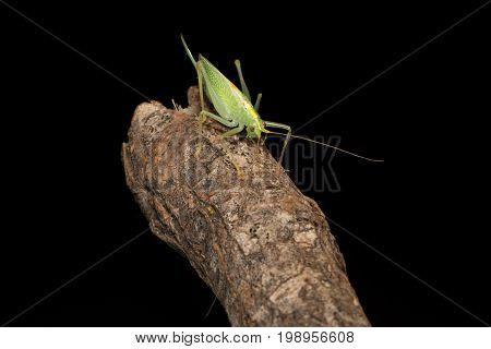 Oak bush-cricket (Meconema thalassinum) on wood. Adult female British cricket in the family Tettigoniidae order Orthoptera on branch against black