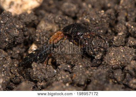 Platydracus stercorarius rove beetle. Red and black predatory beetle in the family Staphylinidae hunting amongst soil