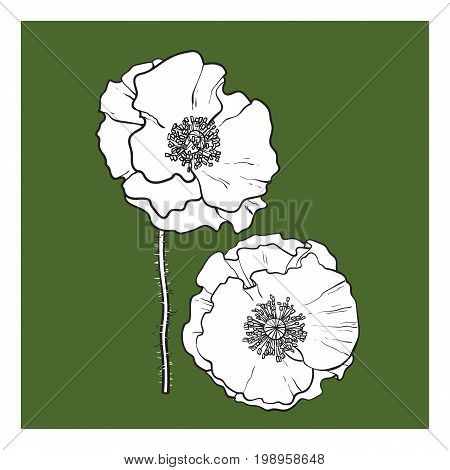 Vector black and white poppy flower blooming. Isolated illustration on a green background. Realistic hand drawn blossom with stem.