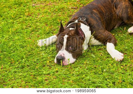 The terrier with sad eyes lies laying his head on the green grass and sprawling his front paws. Space under the text. 2018 year of the dog in the eastern calendar Concept: parodist dogs, dog friend of man, true friends, rescuers.