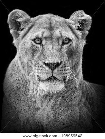 Female lion portrait in black/white
