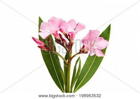 Oleander pink flower isolated on white background
