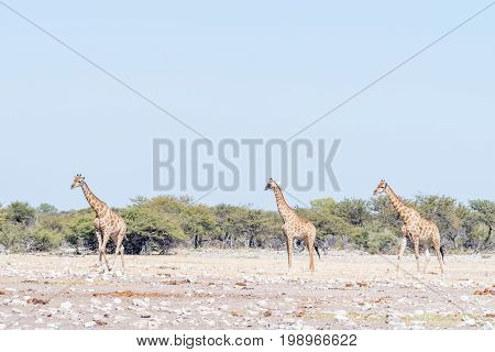 Three Namibian giraffes Giraffa camelopardalis angolensis walking through a field covered in white calcrete rocks in Northern Namibia