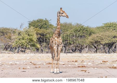A Namibian giraffe giraffa camelopardalis angolensis facing the camera with head turned to its left side