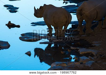 A black rhinoceros Diceros bicornis silhouette and reflection at a waterhole in Northern Namibia during the blue hour after sunset