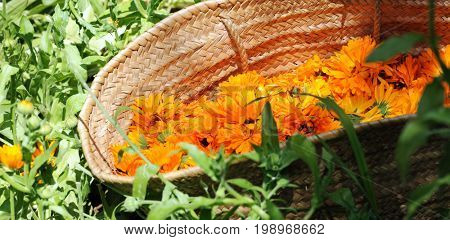 basket with flowers of calendula