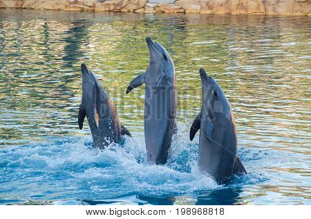 Gold Coast, Australia - July 11, 2017: performing dolphins at Sea World theme park at Surfers Paradise.