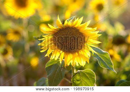 Sunflowers in garden. Sunflowers blooming in sunflower darden. Yellow paradise.