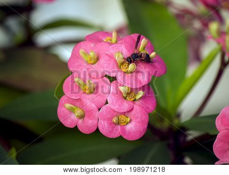 A close-up photo taken on the flowers of the plant known as Crown of Thorns with a wasp