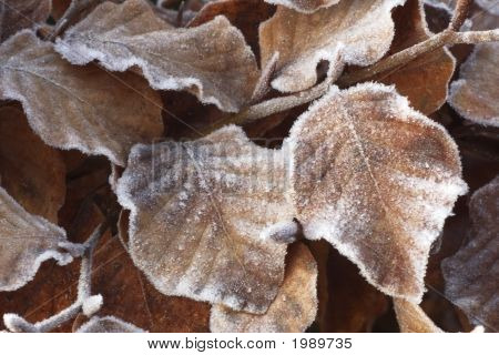 Ice Crystals On Beech Leafs