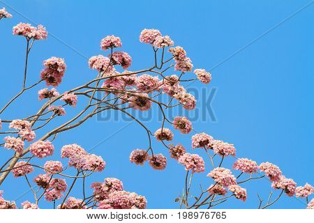 Pink trumpet tree with flower blooming against blue sky