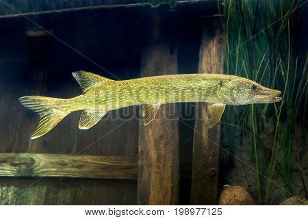 Pike fish underwater in the lake