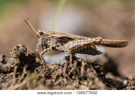 Slender groundhopper (Tetrix subulata) adult profile. Grasshopper-like insect in the order Orthoptera with wings extending beyond abdomen