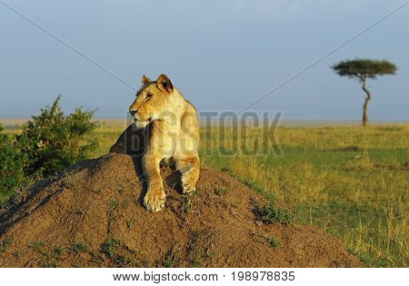 Lioness resting on a large Termite Mound with an acacia tree in the distance on the masai mara plains. Kenya Africa