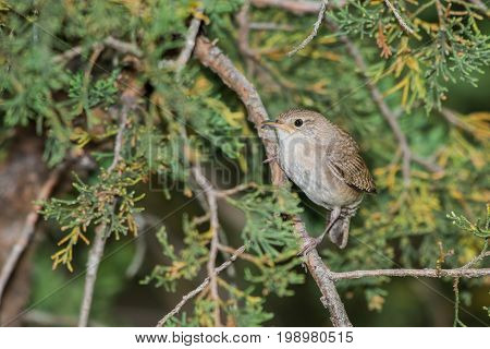 House wren is perched on a cedar tree limb