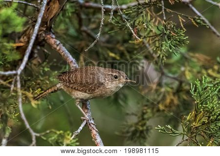 House wren perched on cedar branches with green foliage background.