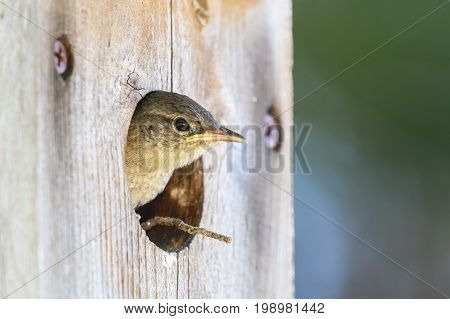 Young house wren peeking out of an old wooden birdhouse