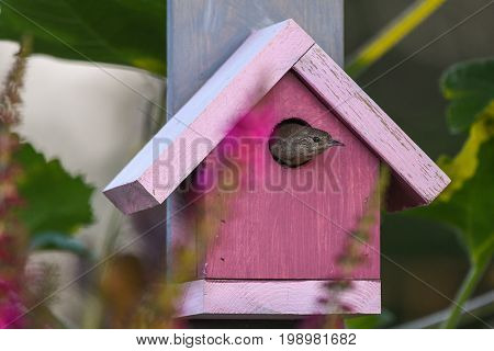House wren peeking out of a pink wooden bird house