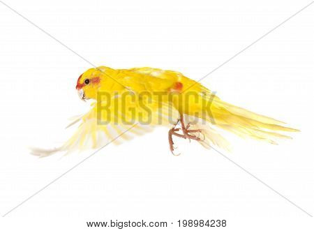 Red-crowned parakeet in front of white background