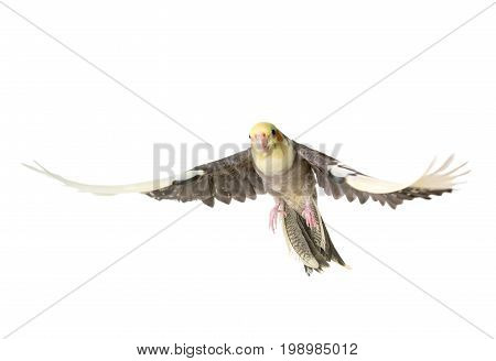 gray cockatiel in front of white background