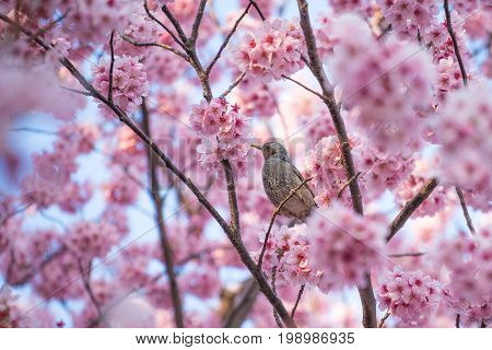 Brown-eared bulbul birds on the sakura tree which blossoms in spring, Selective focus