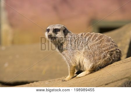 Meerkat sitting on a wooden pole and looking over