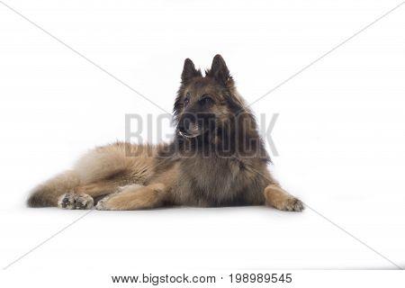 Dog Belgian Shepherd Tervuren lying on white studio background
