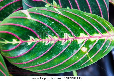 Macro Closeup Of Green Leaf With Pink Or Purple Veins With Symmetry Showing Detail And Texture