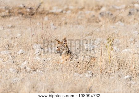 A black-backed jackal Canis mesomelas hiding in grass in Northern Namibia