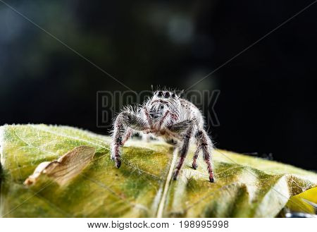 Close-ups Spider on the leaf,Close up of Phidippus regius jumping spider on the dark background