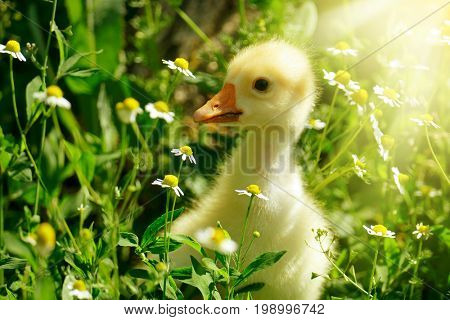 Small yellow gosling in flowers daisy lit by sun