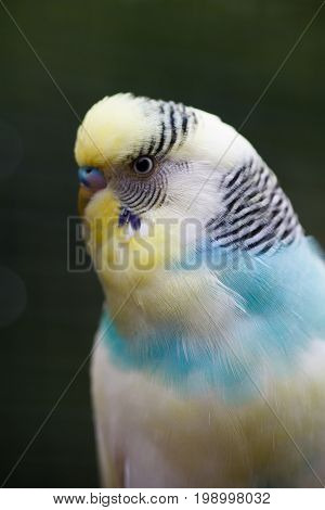 A wavy parrot close-up. Macro photo of a parrot on nature. Exotic bird close-up with a beautiful blurred background.
