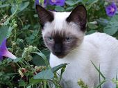Kitten sitting in a bed of morning glories. poster